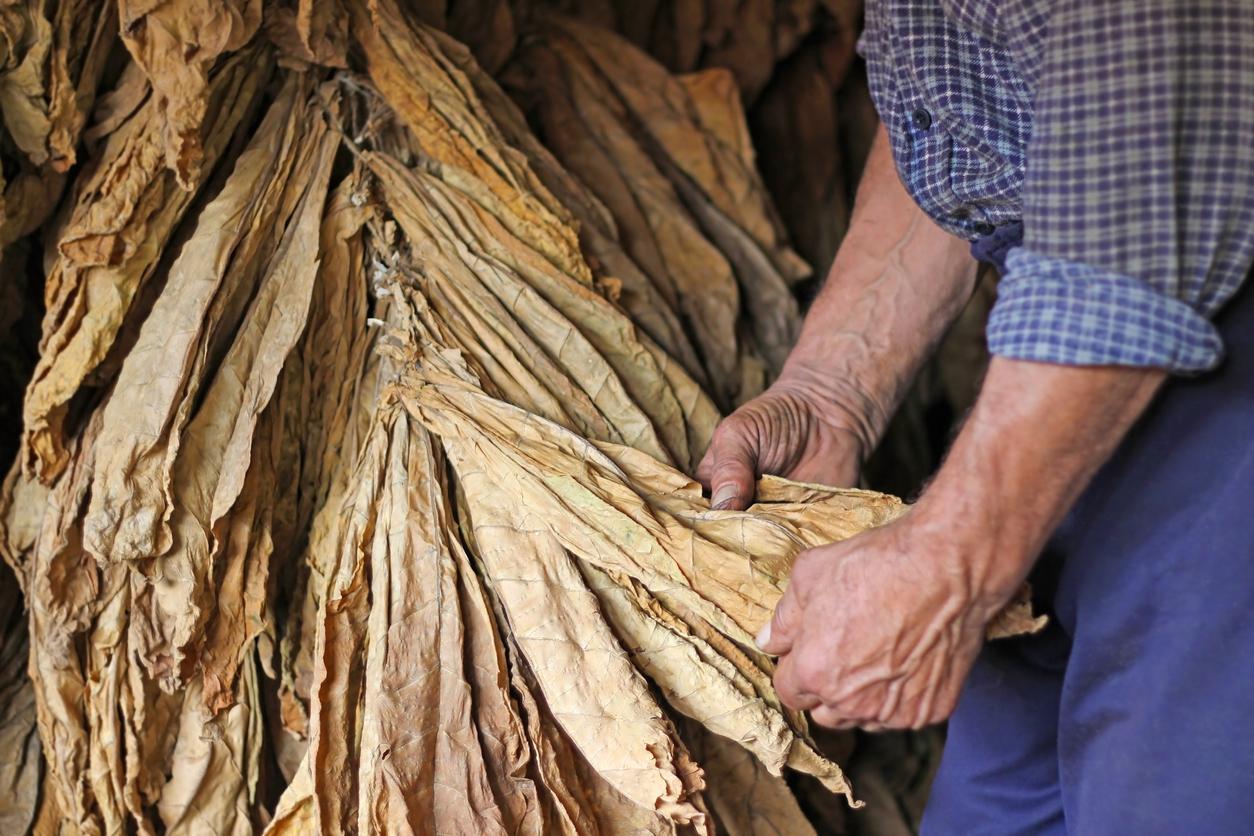 Los años triunfales del tabaco en Puerto Rico
